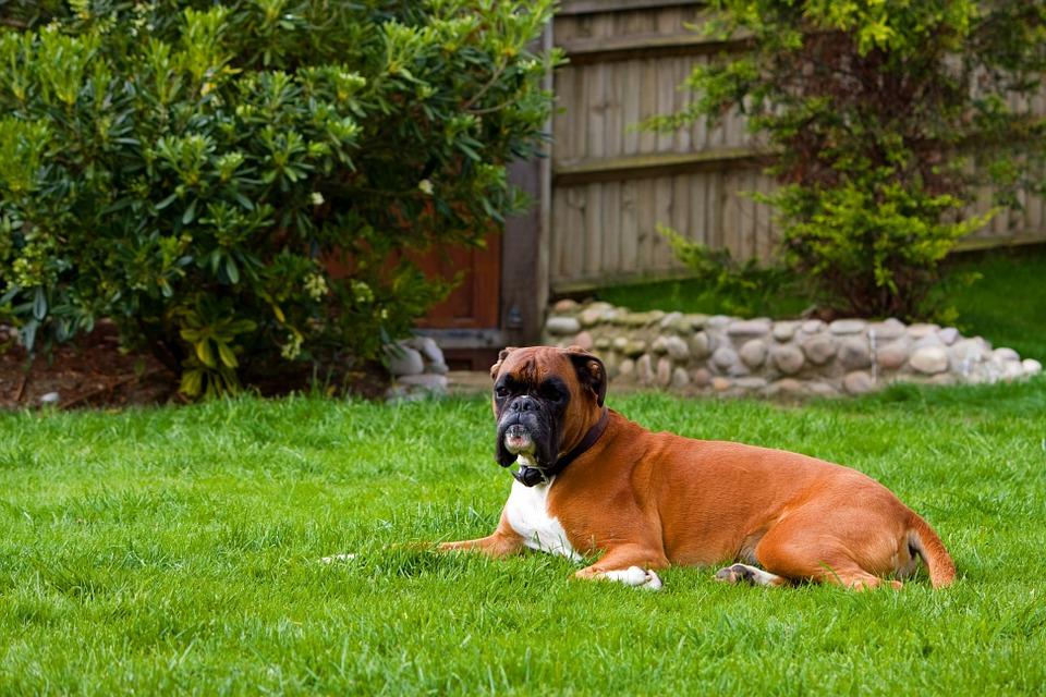 boxer-dog-76573_960_720