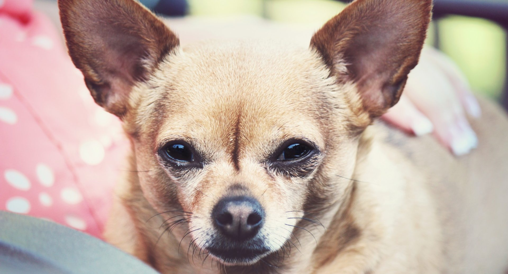 chihuahua-sitting-in-lap